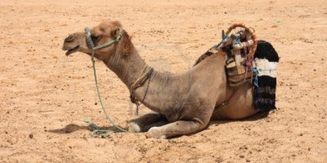 chameau sahara