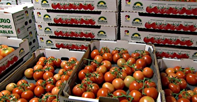 tomates maroc export 2
