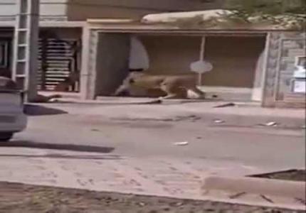 lion saaidia