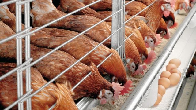 Photo of جمعية | اتفاقية استيراد الدجاج الأمريكي  مدمرة لقطاع الدواجن المغربي
