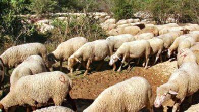 Photo of حجز ماشية متهمة بإتلاف المجال الغابوي